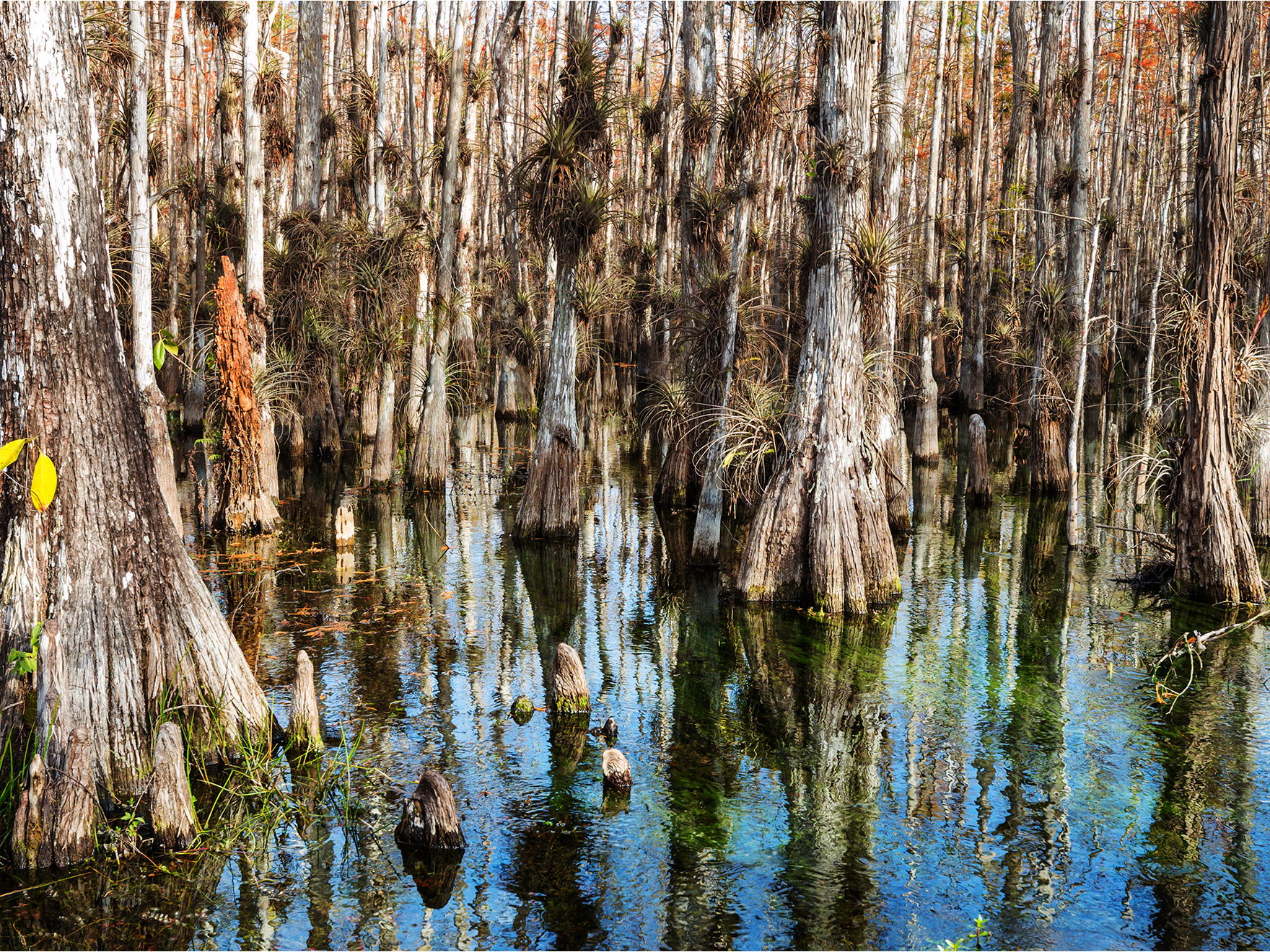 Trees in the everglades surrounded by water